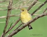 American Goldfinch by garrettparkinson, photography->birds gallery