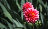Red Dahlia by LynEve, photography->flowers gallery