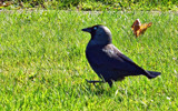 Ole blue eyes by biffobear, photography->birds gallery