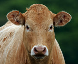 Here's looking at moo by biffobear, photography->animals gallery
