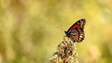 Viceroy Butterfly by tigger3, photography->butterflies gallery