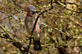 Jay by biffobear, photography->birds gallery