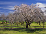 Orchard Blossoms by Surfcat, Photography->Landscape gallery