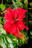 Red Hibiscus by corngrowth, photography->flowers gallery