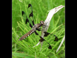 dragonfly by jeremy_depew, Photography->Insects/Spiders gallery