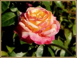 """""""Love and Peace"""" Rose by trixxie17, photography->flowers gallery"""