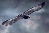 Jackal Buzzard by biffobear, photography->manipulation gallery