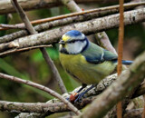 Blue tit... by biffobear, photography->birds gallery