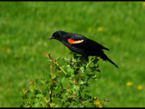 Red Winged Blackbird by dwdharvey, Photography->Birds gallery