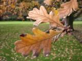 Melbourne Oak by Samatar, photography->landscape gallery
