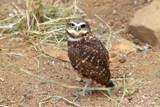 Burrowing Owl by Nikoneer, photography->birds gallery