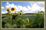 Zeeland Sunflowers by corngrowth, Photography->Landscape gallery
