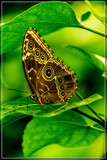 Butterfly 13 by corngrowth, photography->butterflies gallery