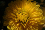 Sunshine (for Canuck_Photo_Guy) by deep_sapphire, Photography->Flowers gallery