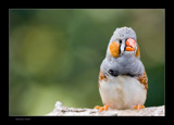 Zebra finch 4 by kodo34, Photography->Birds gallery