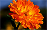 Pot Marigold by corngrowth, photography->flowers gallery