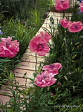 Chinese Poppies by peapodgrrl, Photography->Flowers gallery