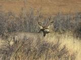 Mule Deer by Yenom, praetori arbitrio gallery