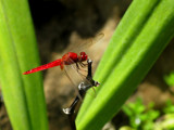 red dragonfly by jeenie11, photography->insects/spiders gallery
