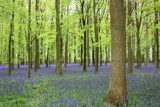 Bluebell Woods by mizme, Photography->Flowers gallery