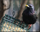 The Starling by tigger3, photography->birds gallery