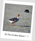 """Do the Chicken Dance!"" by RL, photography->birds gallery"