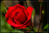 Foofy Friday Red Rose by corngrowth, photography->flowers gallery