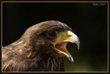 Falcon1 by wimgroen, photography->birds gallery