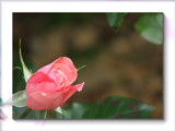For Mum by slushie, photography->flowers gallery