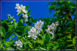 Philadelphus by corngrowth, photography->flowers gallery