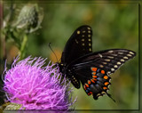 The Eastern Black Swallowtail #3 by tigger3, photography->butterflies gallery