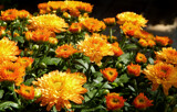 Mums are Back by trixxie17, photography->flowers gallery