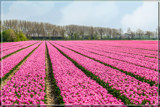 Zeeland Tulip Fields 9 by corngrowth, photography->flowers gallery