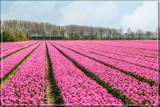 Zeeland Tulip Fields 9 by corngrowth, photography->flowers gallery
