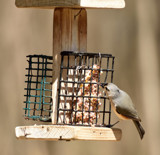 Suet Junkie by tigger3, photography->birds gallery
