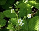 Italian Alpine Strawberry by trixxie17, photography->flowers gallery