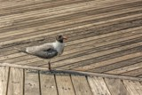 Boardwalk Birdie by Jimbobedsel, photography->birds gallery
