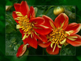 Dahlia Duo by LynEve, Photography->Flowers gallery