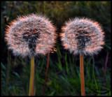 Dandelion Clocks by Dunstickin, photography->flowers gallery