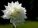 Dahlia Bloom by tigger3, photography->flowers gallery