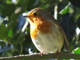 Robin in the sun !!! by owldgirl, photography->birds gallery