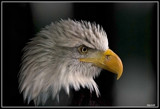 American Eagle by wimgroen, Photography->Birds gallery