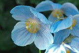 Blue Poppies by ccmerino, photography->flowers gallery