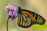 Summer Monarch by rahto, photography->butterflies gallery