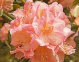 Peachy Rhododendron by trixxie17, photography->flowers gallery