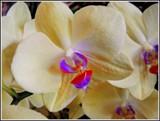 Lemon Butterflies by trixxie17, photography->flowers gallery
