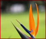 Bird of Paradice by slushie, photography->flowers gallery