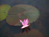 Water lilly by bluespace, Photography->Flowers gallery