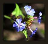 Little Blue Blossoms by LynEve, photography->macro gallery