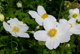 Snowdrift Anemone by trixxie17, photography->flowers gallery